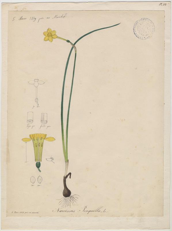 Jonquille ; plante à fleurs_0