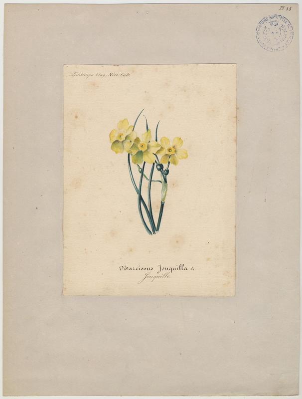 BARLA Jean-Baptiste (attribué à) : Jonquille, plante à fleurs