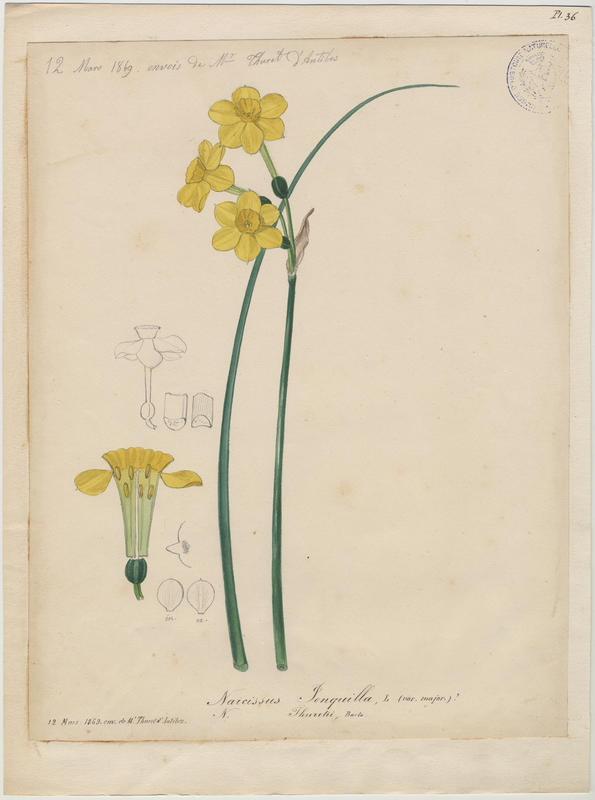 FOSSAT Vincent (aquarelliste, peintre) : Jonquille, plante à fleurs