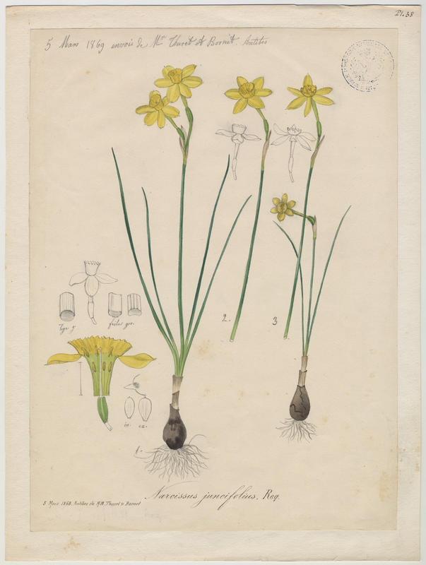 Narcisse à feuilles de jonc ; Narcisse d'Asso ; plante à fleurs_0