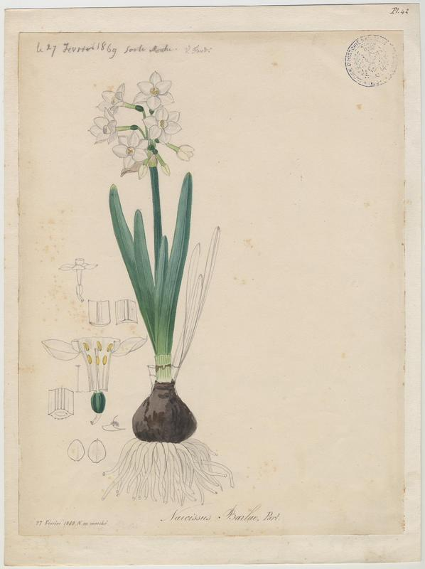Narcisse polyanthe ; plante à fleurs
