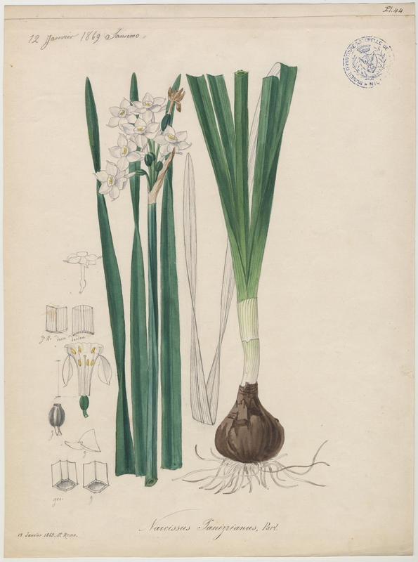FOSSAT Vincent (aquarelliste, peintre) : Narcisse polyanthe, plante à fleurs
