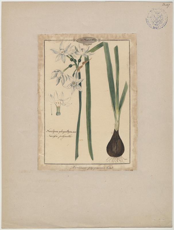 BARLA Jean-Baptiste (attribué à) : Narcisse polyanthe, plante à fleurs