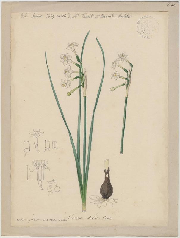 Narcisse douteux ; plante à fleurs