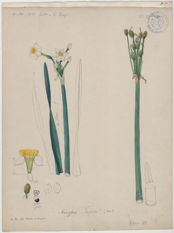 Narcisse à bouquet ; Narcisse de Constantinople ; Narcisse tazette ; plante à fleurs