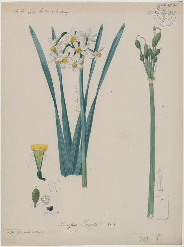 BARLA Jean-Baptiste (attribué à) : Narcisse à bouquet, Narcisse de Constantinople, Narcisse tazette, plante à fleurs