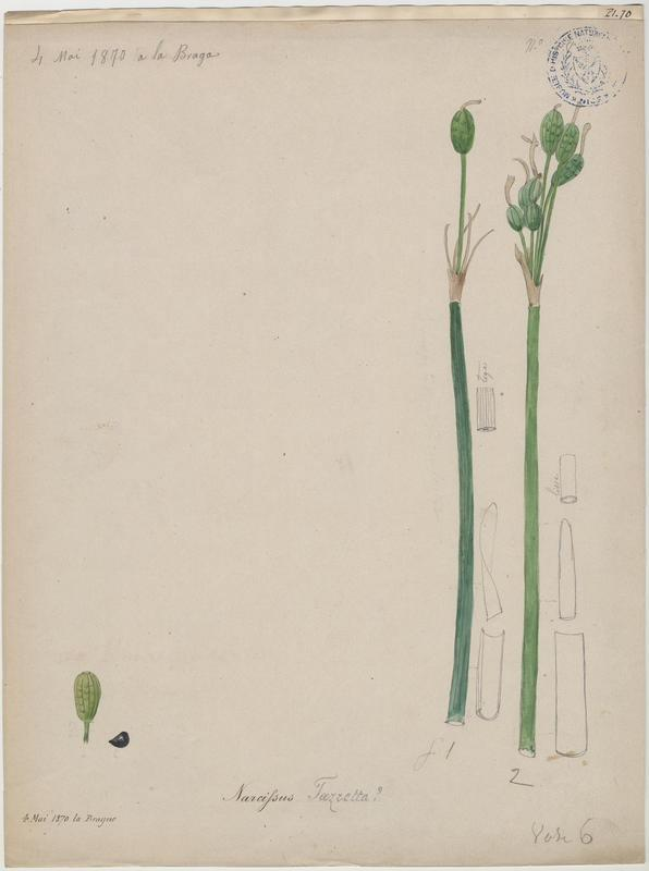 Narcisse ; plante à fleurs