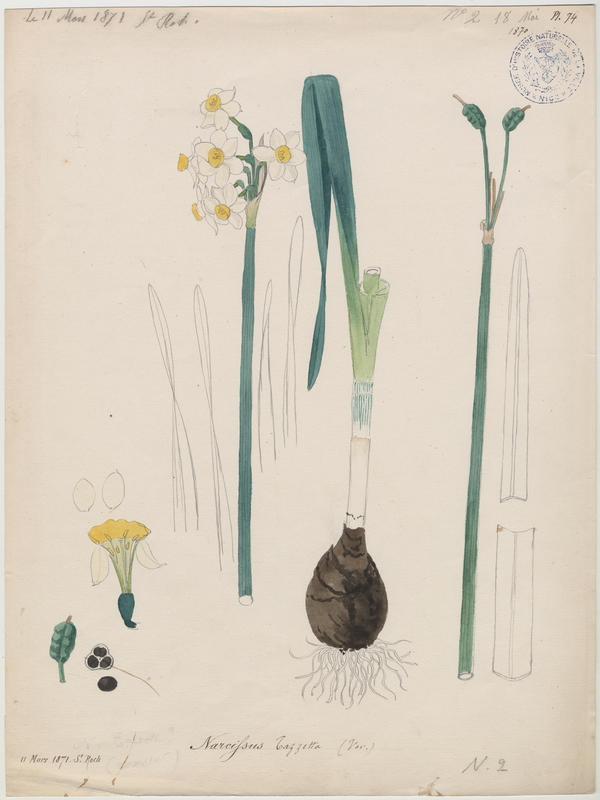Narcisse à bouquet ; Narcisse de Constantinople ; Narcisse tazette ; plante à fleurs_0