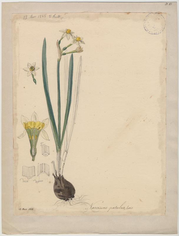 FOSSAT Vincent (aquarelliste, peintre) : Narcisse à bouquet, Narcisse de Constantinople, Narcisse tazette, plante à fleurs