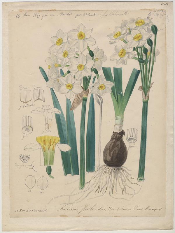 Narcisse grand monarque ; plante à fleurs_0