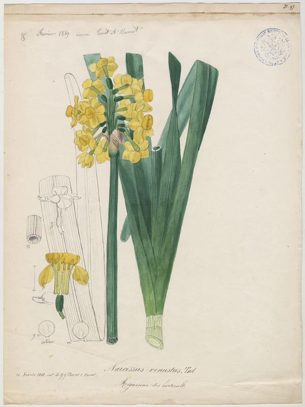 Mignonne des Horticulteurs ; plante à fleurs_0
