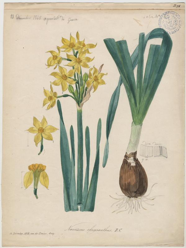 Narcisse d'Italie ; Soleil d'or des jardiniers ; plante à fleurs