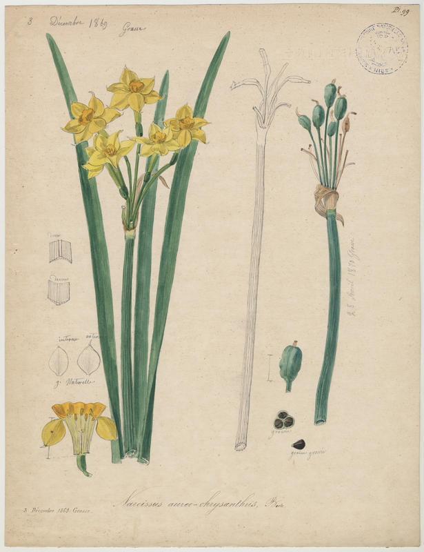 Narcisse ; plante à fleurs_0