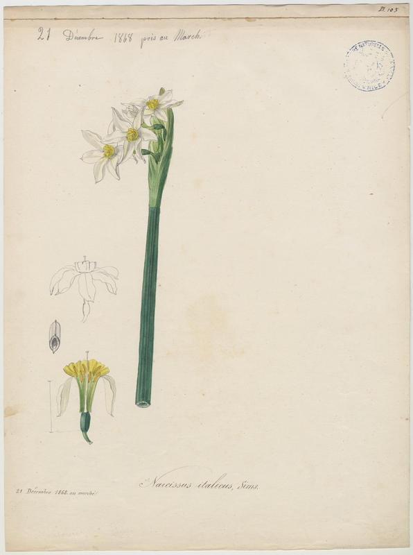 Narcisse d'Itallie ; plante à fleurs_0