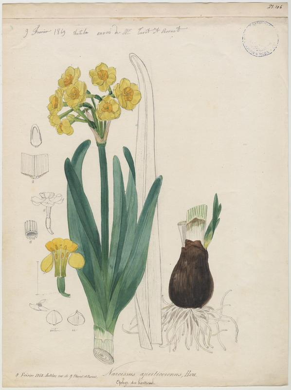 FOSSAT Vincent (aquarelliste, peintre) : Narcisse, plante à fleurs