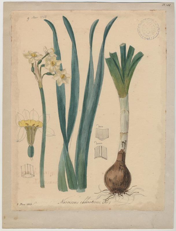 BARLA Jean-Baptiste (attribué à) : Narcisse, plante à fleurs