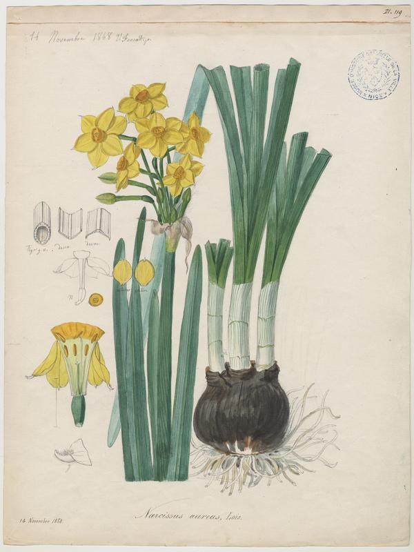 FOSSAT Vincent (aquarelliste, peintre) : Narcisse d'Italie,  Soleil d'or des jardiniers, plante à fleurs