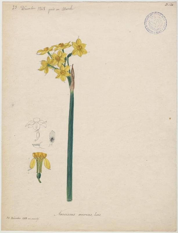 Narcisse d'Italie ; Soleil d'or des jardiniers ; plante à fleurs_0