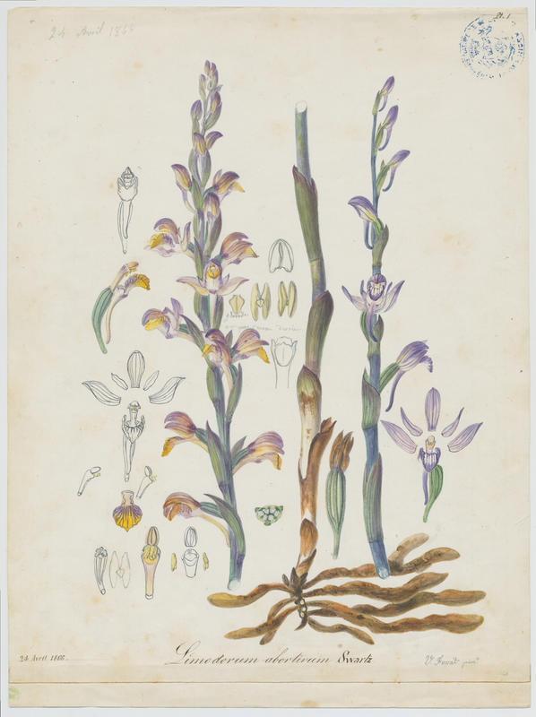 FOSSAT Vincent (aquarelliste, peintre) : Limodore avorté, plante à fleurs