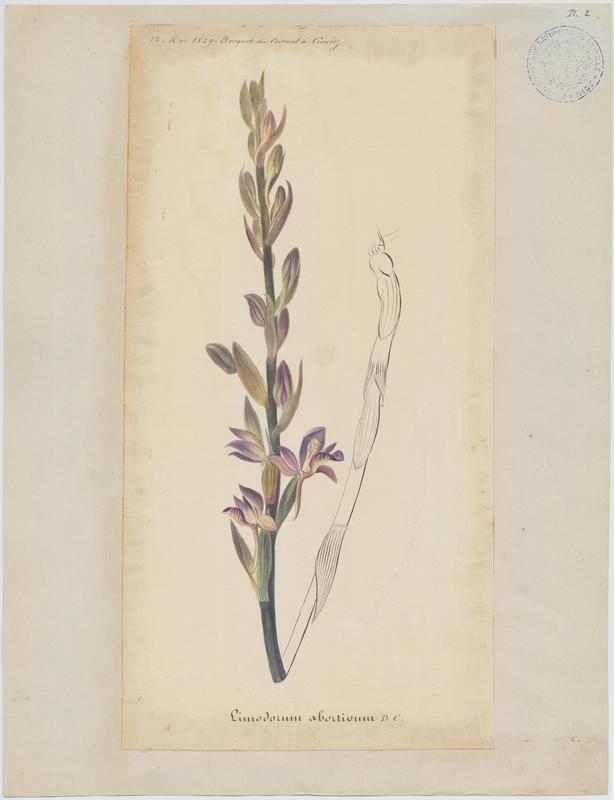 Limodore avorté ; plante à fleurs_0