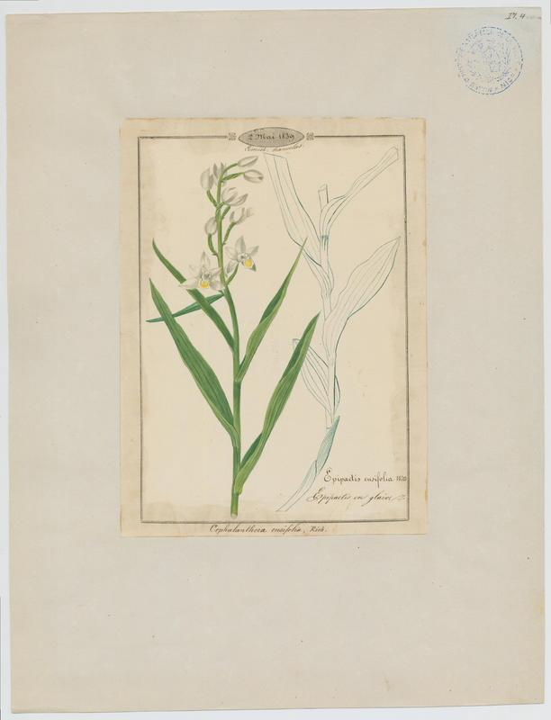 Epipactis en glaive ; plante à fleurs