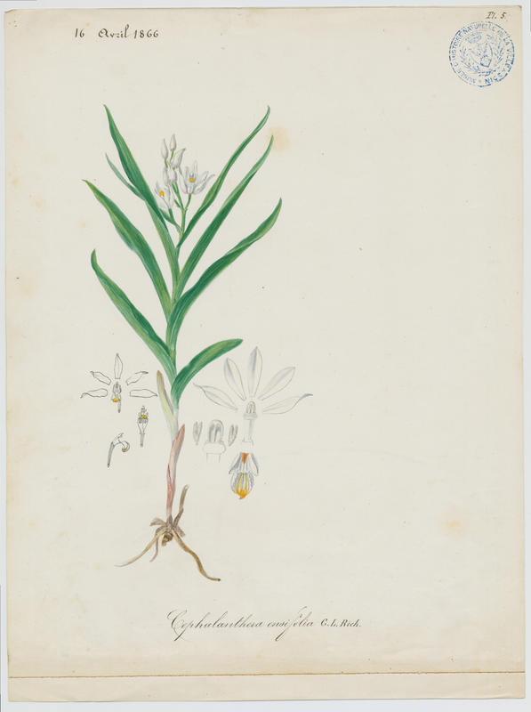Epipactis en glaive ; plante à fleurs_0