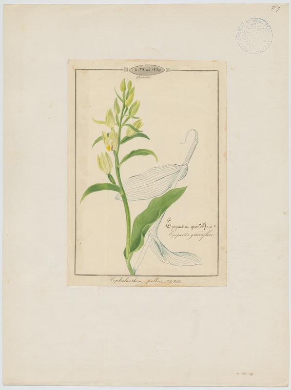 Epipactis grandiflore ; plante à fleurs_0