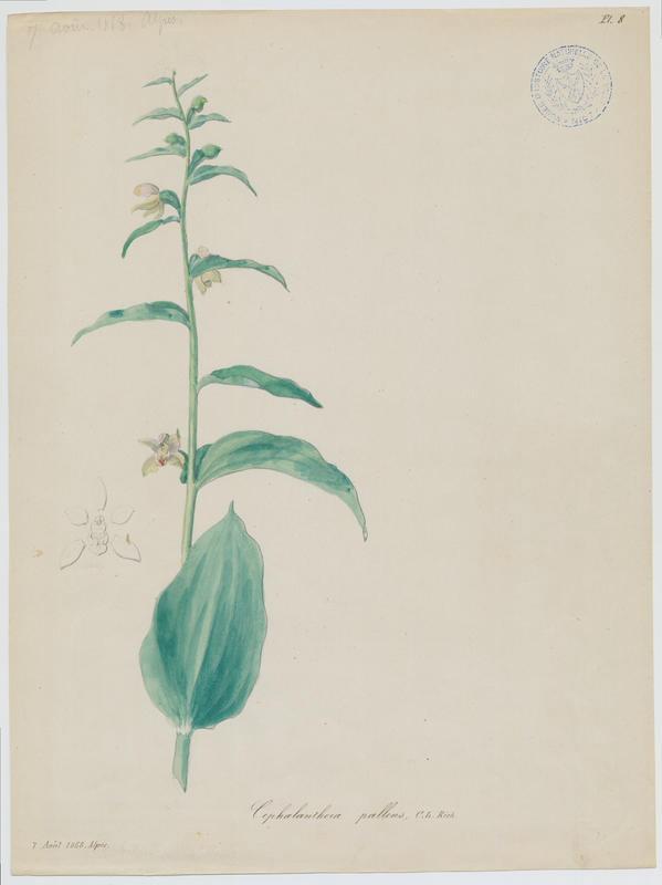 BARLA Jean-Baptiste (attribué à) : Epipactis grandiflore, plante à fleurs
