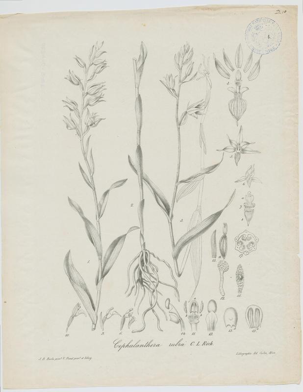 Epipactis rouge ; plante à fleurs_0