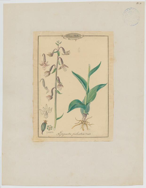 BARLA Jean-Baptiste (attribué à) : Epipactis des marais, plante à fleurs
