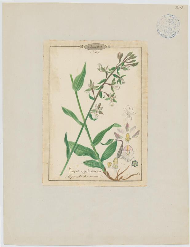 Epipactis des marais ; plante à fleurs_0