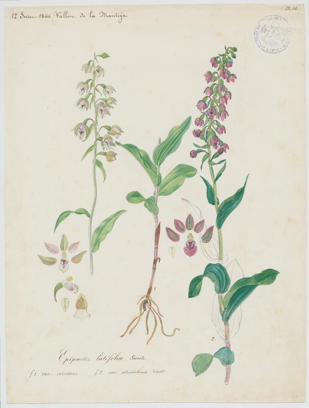 Épipactis à larges feuilles ; Elléborine à larges feuilles ; plante à fleurs_0