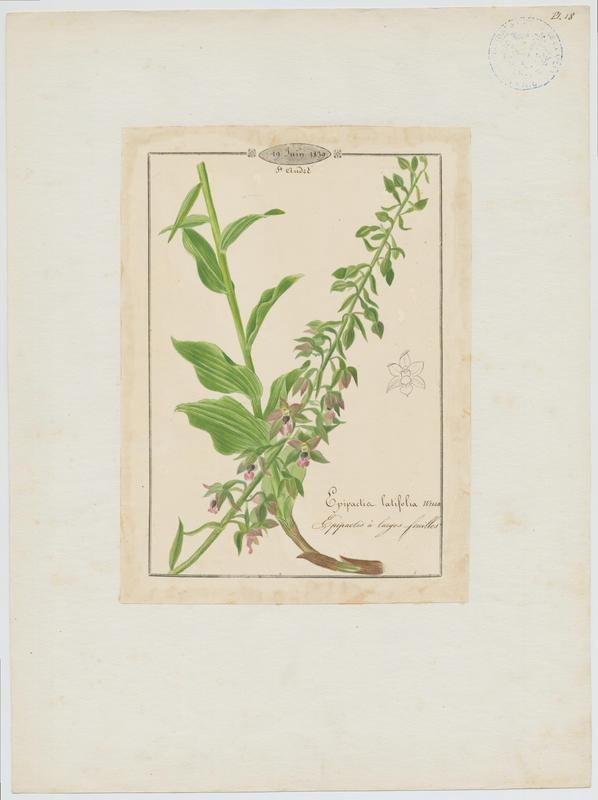 Epipactis à larges feuilles ; Elléborine à larges feuilles ; plante à fleurs