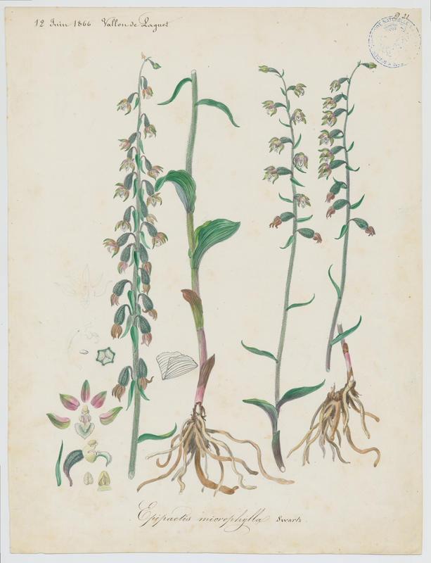 BARLA Jean-Baptiste (attribué à) : Epipactis à petites feuilles, plante à fleurs