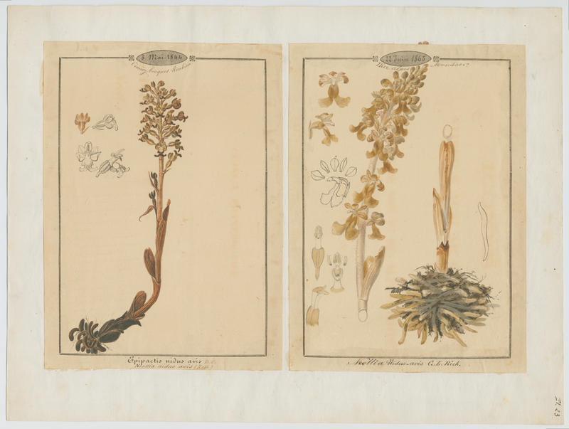 Neottie nid d'oiseau ; plante à fleurs_0