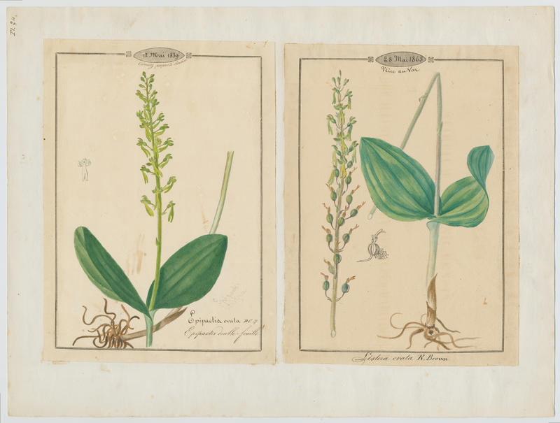 BARLA Jean-Baptiste (attribué à) : Epipactis double feuille, plante à fleurs