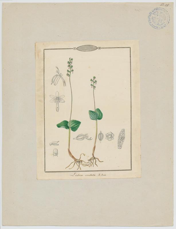 Listère à feuilles cordées ; plante à fleurs_0