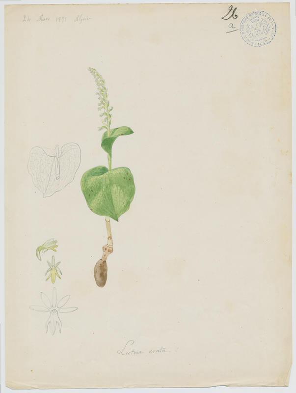 Epipactis double feuille ; plante à fleurs_0