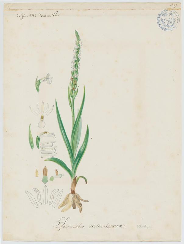 FOSSAT Vincent (aquarelliste, peintre) : Spiranthe d'été, plante à fleurs