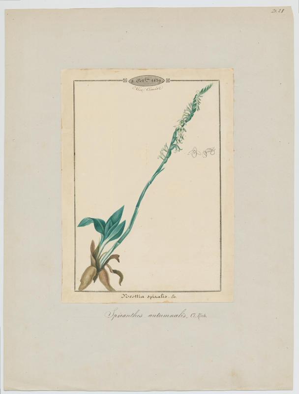 Spiranthe d'automne ; plante à fleurs