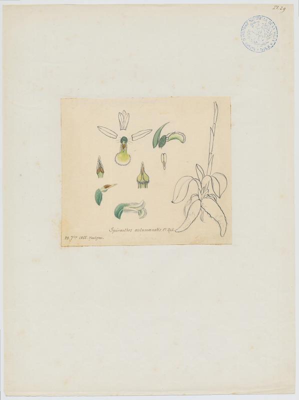 BARLA Jean-Baptiste (attribué à) : Spiranthe d'automne, plante à fleurs