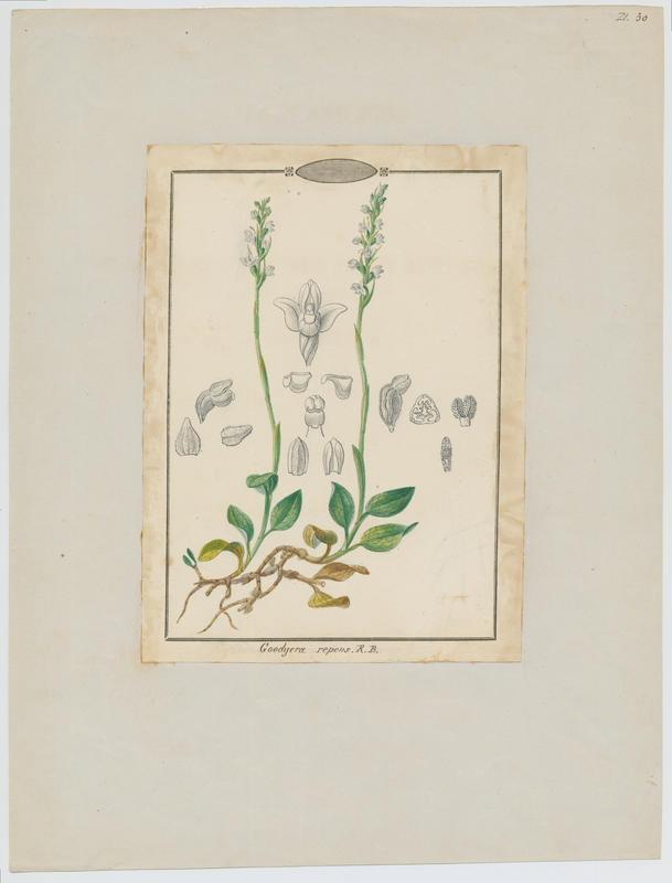 Goodyère rampante ; plante à fleurs