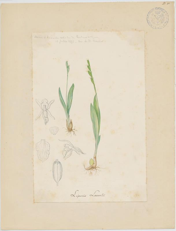 Liparis de Loesel ; Lipplante ; plante à fleurs_0