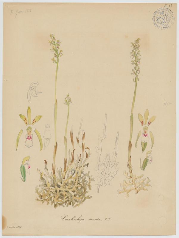 BARLA Jean-Baptiste (attribué à) : Coralline, Racine de corail, Corallorhize trifide, plante à fleurs