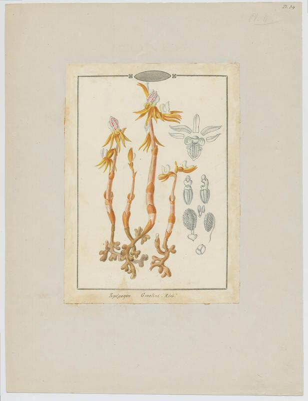 BARLA Jean-Baptiste (attribué à) : Épipogon sans feuilles, plante à fleurs
