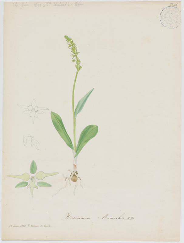 BARLA Jean-Baptiste (attribué à) : Orchis musc, plante à fleurs