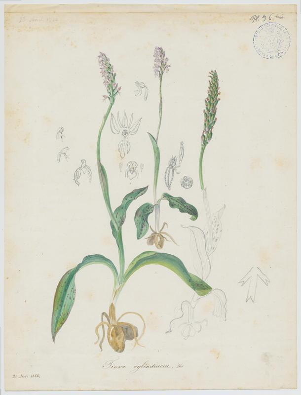 BARLA Jean-Baptiste (attribué à) : Néotine, Néottinée maculée, Orchis maculé, plante à fleurs
