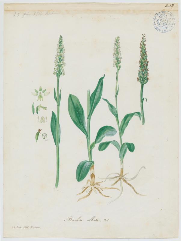 Pseudorchis blanc ; Orchis blanc ; plante à fleurs