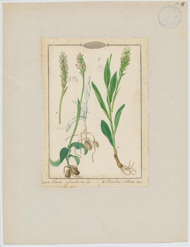 Pseudorchis blanc ; Orchis blanc ; plante à fleurs_0