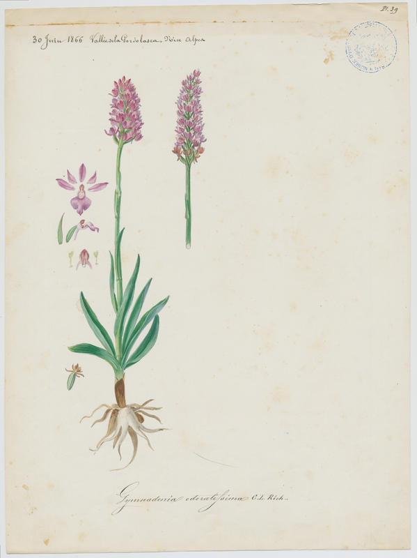 Gymnadenie odorante ; Orchis odorant ; plante à fleurs_0